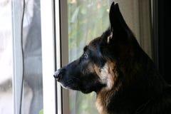 Schäferhundprofil Lizenzfreie Stockfotografie