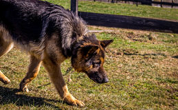Schäferhundschnüffeln Stockbild