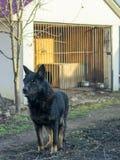 Schäferhundschwarzfarbe nahe seiner Einschließung Lizenzfreie Stockfotos