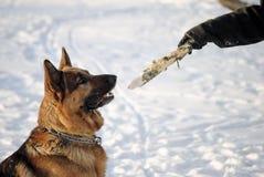 Schäferhundsitzen stockbild