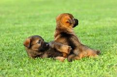 Schäferhundspielen Stockfotos