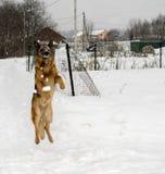 Schäferhundspielen stockbild
