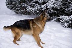 Schäferhundspielen stockbilder