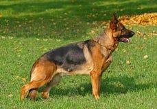 Schäferhundstellung Stockfotos