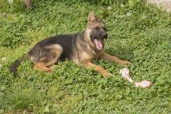 Schäferhundwelpe mit dem Knochen Stockfoto