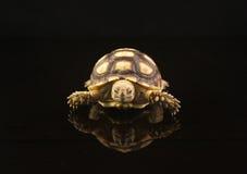 Schätzchen-afrikanische angetriebene Schildkröten Stockfoto