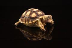 Schätzchen-afrikanische angetriebene Schildkröten Stockbild