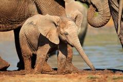 Schätzchen-afrikanischer Elefant Lizenzfreie Stockbilder