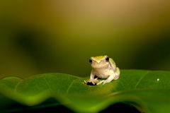 Schätzchen-Baumfrosch auf dem Blatt Lizenzfreie Stockfotografie