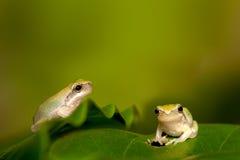 Schätzchen-Baumfrosch auf dem Blatt Stockbild