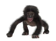 Schätzchen Bonobo, Wanne paniscus, 4 Monate alte, gehend Lizenzfreie Stockbilder