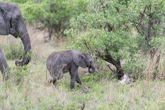 Schätzchen-Elefant Stockbild