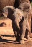 Schätzchen-Elefant Stockfoto