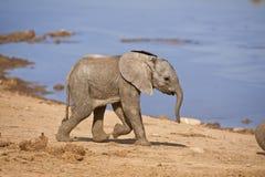 Schätzchen-Elefant Stockfotos