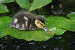 Schätzchen-Ente auf Lilien-Auflage Stockbild