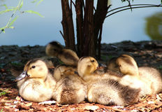 Schätzchen-Enten Stockbilder