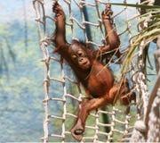 Schätzchen-Gorilla Lizenzfreie Stockbilder