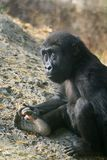 Schätzchen-Gorilla Lizenzfreies Stockbild