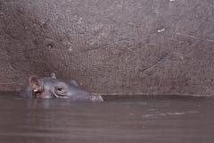 Schätzchen Hippopotamus Stockfotografie