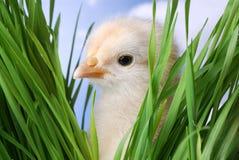 Schätzchen-Huhn, das an Ihnen emporragt lizenzfreies stockbild