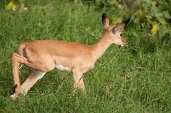 Schätzchen Impala Lizenzfreie Stockfotografie