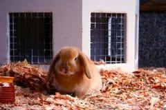 Schätzchen-Kaninchen Stockfotografie