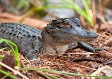 Schätzchen-Krokodil lizenzfreie stockbilder