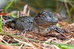 Schätzchen-Krokodil lizenzfreies stockbild