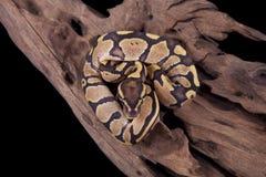 Schätzchen-Kugel oder königliche Pythonschlange, Feuer verwandeln Stockbild