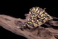 Schätzchen-Kugel oder königliche Pythonschlange, Leuchtkäfer verwandeln Lizenzfreies Stockfoto