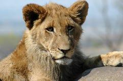 Schätzchen-Löwe. Stockfoto