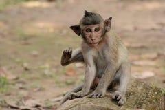 Schätzchen Macaque Stockbilder