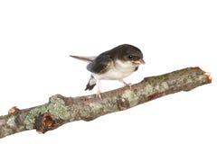 Schätzchen Martin auf einem Zweig Lizenzfreies Stockbild