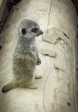 Schätzchen Meercat lizenzfreie stockbilder