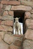 Schätzchen mtn Ziege im Fenster Stockfoto