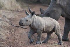 Schätzchen-Nashorn und Mutter Stockfotos