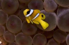 Schätzchen nemo Fische Stockfoto
