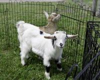 Schätzchen-in Ohnmachte fallend Ziegen Stockfotos