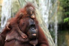 Schätzchen-Orang-Utan und Mutter Stockfotos