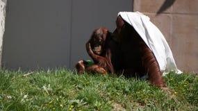 Schätzchen-Orang-Utan und Mutter Lizenzfreie Stockfotografie