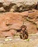 Schätzchen-Pavian Stockfoto