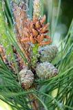 Schätzchen Pinecones lizenzfreie stockbilder