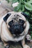 Schätzchen Pug Verfolgen Sie Pug Schließen Sie herauf Gesicht eines sehr netten Pug Lizenzfreie Stockfotografie