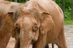 Schätzchen-Pygmäe-Elefant Stockfotos