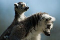 Schätzchen ring-tailed Lemur Stockfoto