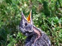 Schätzchen Robin Stockfoto