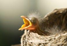 Schätzchen Robin Stockfotos
