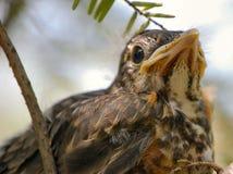 Schätzchen Robin wartet Nahrung Lizenzfreie Stockfotos