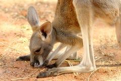 Schätzchen Roo stockfotos