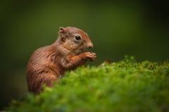 Schätzchen-rotes Eichhörnchen Stockbilder